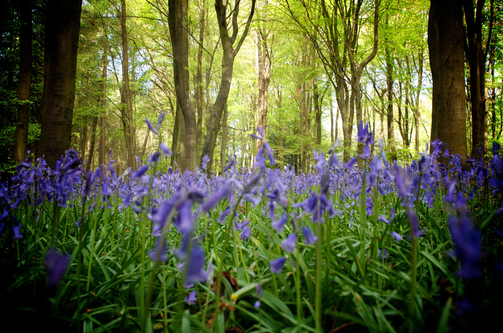 ph-bluebells-closeup-01.jpg