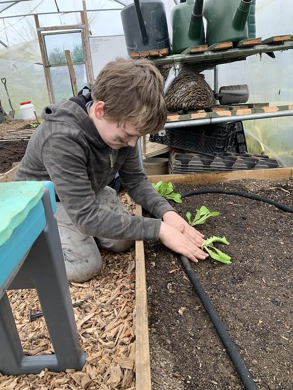 Planting lettuces .jpg