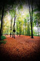 Beech wood 2.jpg